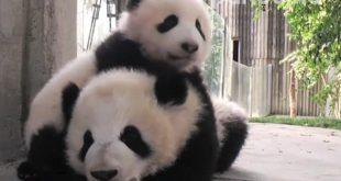 Panda-Bello-Tierno0101