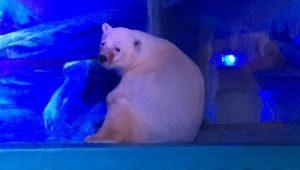 271016-oso-polar-mas-triste01