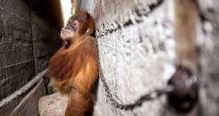 Mingky the orangutan chained to the wall in Indonesia. See SWNS copy SWORANG: These heartbreaking pictures show how a baby orangutan was chained up for YEAR as entertainment for a family. Orphaned Mingky whose mother was killed was wondering alone through remote woodland when he was captured by hunters last year. The tropical poacher gave him to a friend who tethered him by the neck to a bolt on a wall down a narrow 2dt wide crumbling alleyway between two homes. He occasionally wheeled out the poor primate to entertain children at family gatherings.