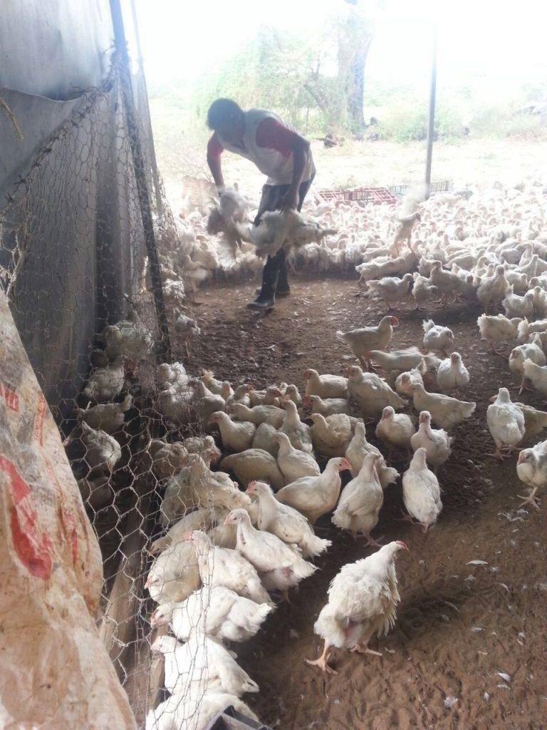 Matadero de aves incautados por la PNB