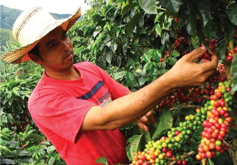 Abogados y odontólogos venezolanos recogen la cosecha cafetera en Colombia