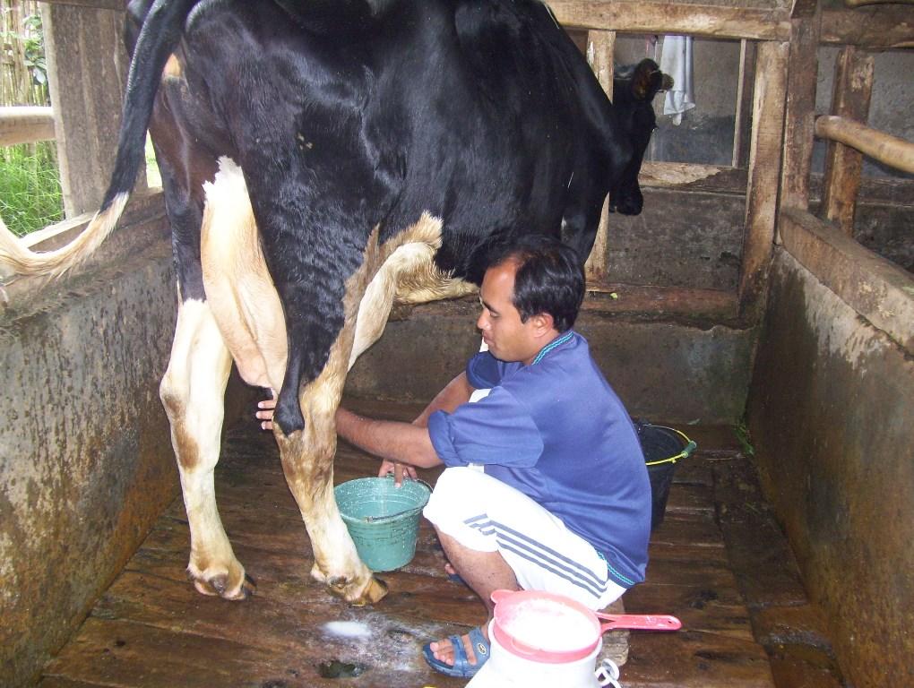 Estos cantos cumplen una función práctica en el conjunto de actividades que se conocen como 'trabajo de llano' y en todas aquellas que implican el contacto directo con el ganado