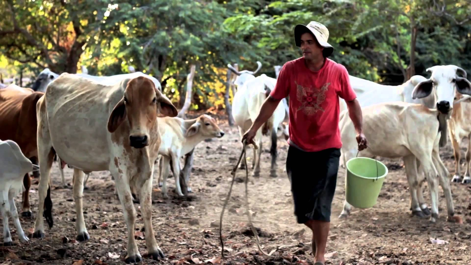Ya son pocos los llaneros que practican esta tradición, hombres recios de esta zona de Colombia y Venezuela con voces entonadas que cuentan, además, que las vacas dan mejor leche si se les canta y las acarician