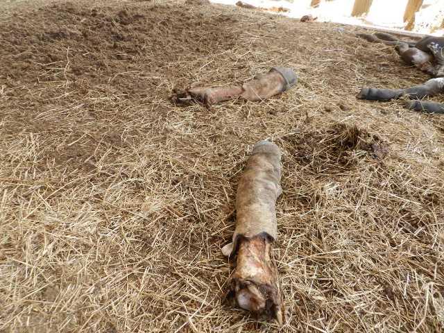 ladrones de ganado se encontraban realizando el robo entre ellos dos efectivos castrenses