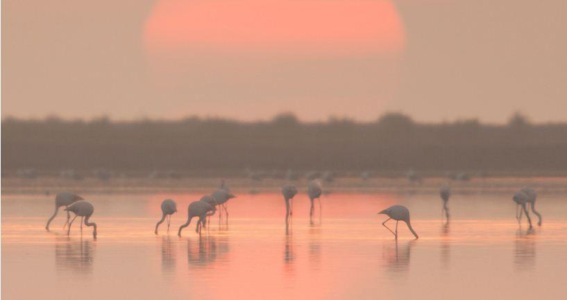 Delta de Ebro, el flamenco en su entorno rosa
