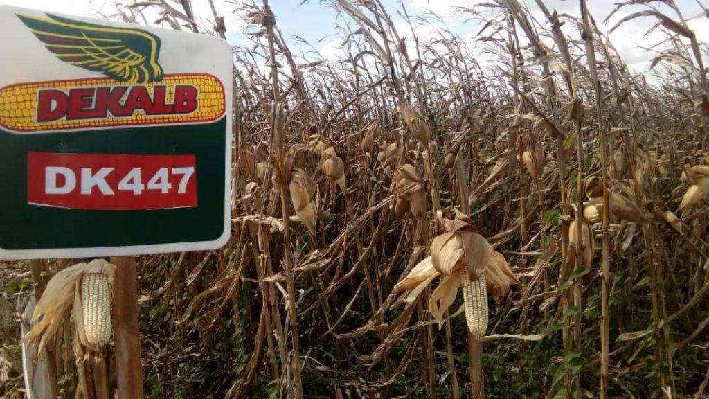 La siembra de maiz para el ciclo de invierno está en pico e zamuro.j